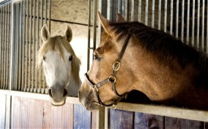 stabled horses
